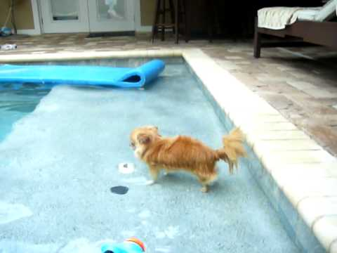 small chihuahua swimming in a pool
