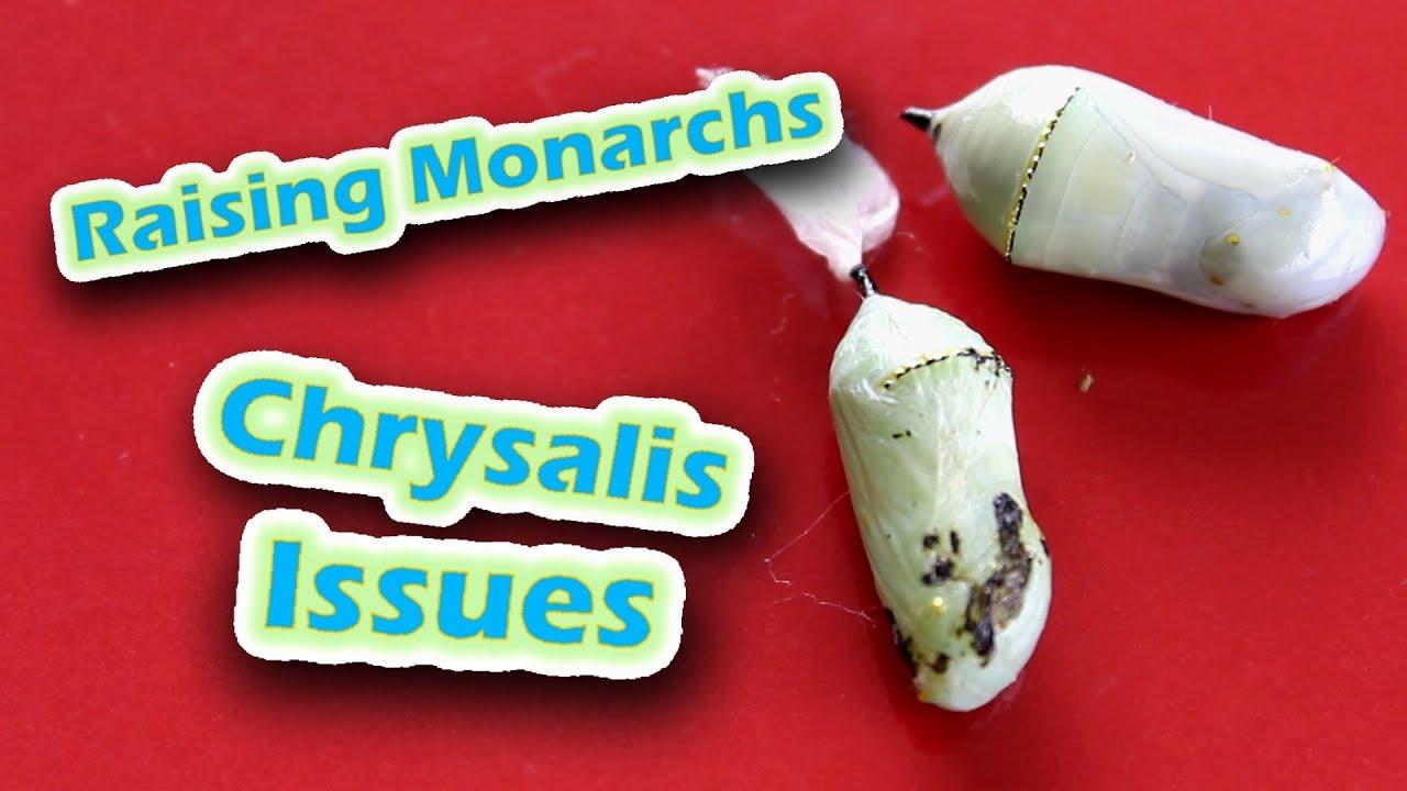 monarch chrysalis paraziták