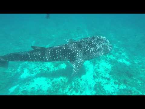 Whale shark - Maldives