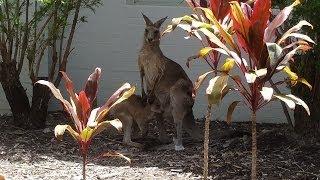 Жизнь в Австралии. Кенгуру. Австралия с Жанкой(Жизнь в коммьюнити на Солнечном побережье Австралии, где много много диких кенгуру :) Мои фотки из Австрали..., 2014-03-13T08:30:00.000Z)