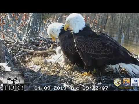 Bald Eagle Trio Raises Eaglets In Illinois Nest
