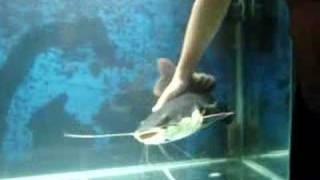 AQUARISMO JUMBO - pirarara gigante carinhosa! red tail catfish