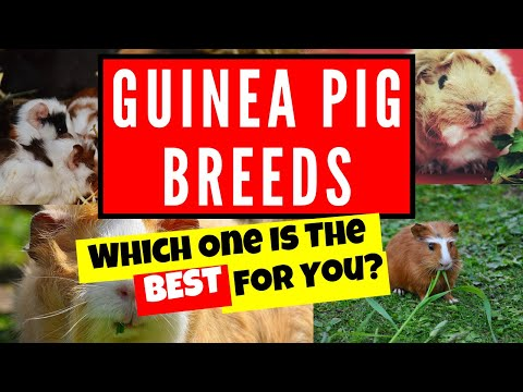 GUINEA PIG BREEDS | WHICH ONE IS THE BEST FOR YOU?