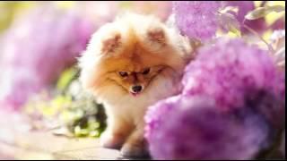 Flint The Pomeranian Pup Is Cuteness Gone Viral   Mail Online