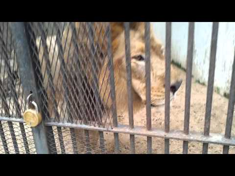 Lion in baroda zoo