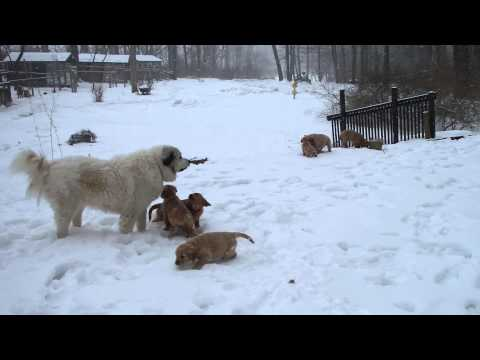 Snow Day Fun Golden Retriever Puppies & Great Pyrenees
