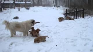 Snow Day Fun Golden Retriever Puppies & Great Pyrenees