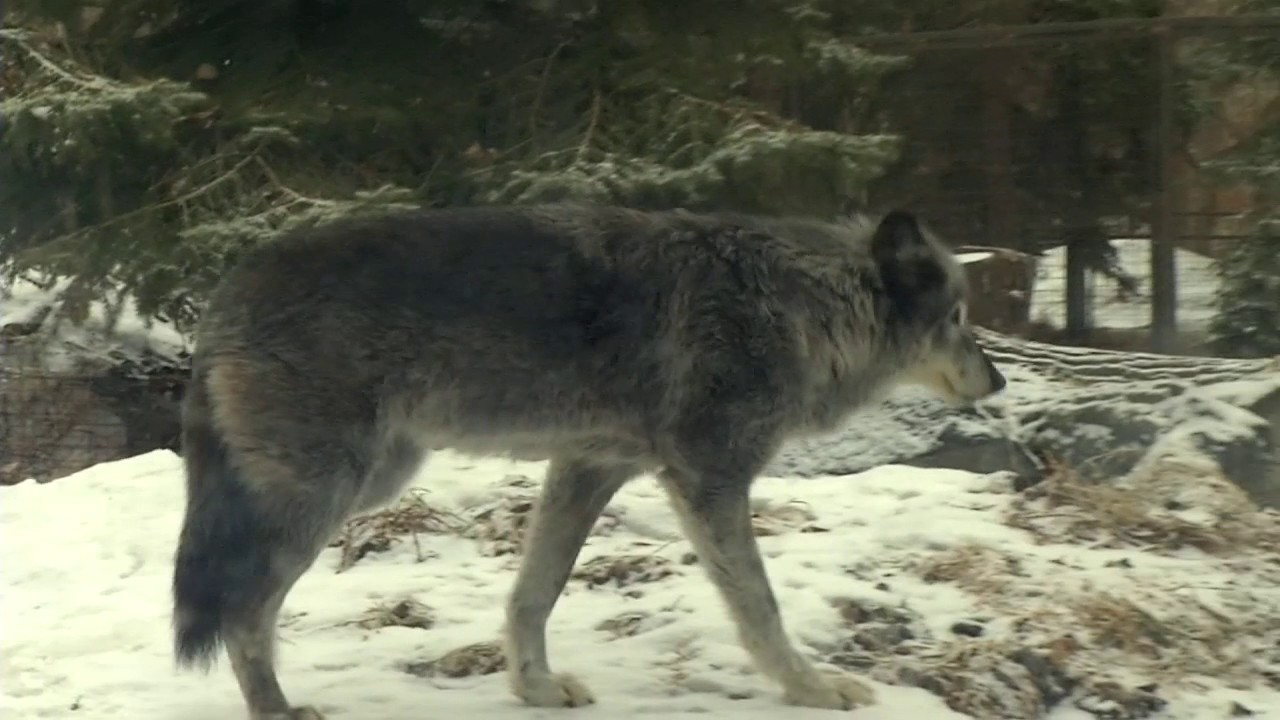 top 10 iconic canadian animals grey wolf youtube