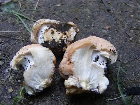 Albatrellus confluens