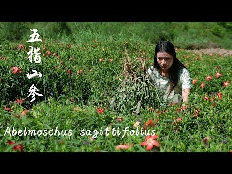 五指山参是种贵州的神奇植物,用来煲鸡汤味道很好 Abelmoschus Sagittifolius