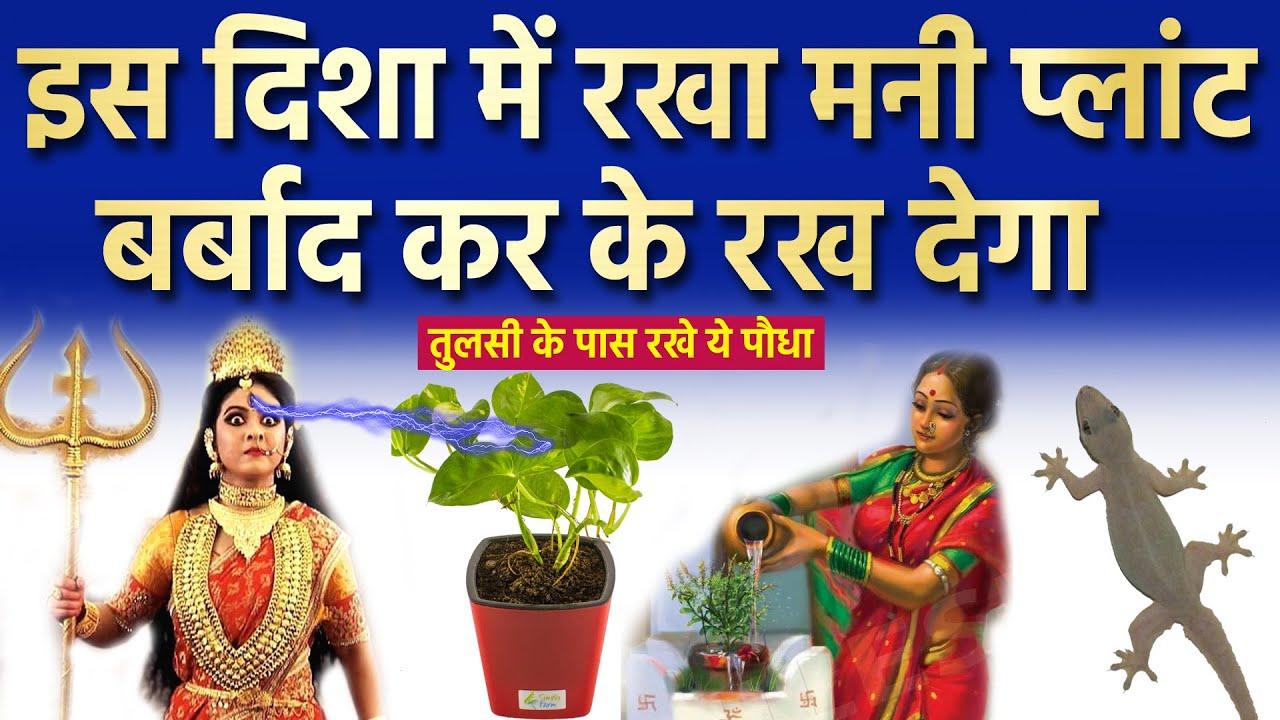 घर में मनी प्लांट का पौधा इस दिशा में भूलसे भी ना रखे दरिद्रता आती है वास्तु शास्त्र | Money Plant