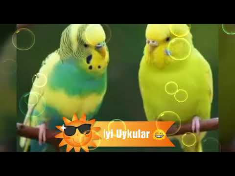 Chat Bird 🐦 Sleeping Music Box Song (Pictures)