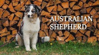 Отпуск с щенком австралийской овчарки [AustralianShepherd]
