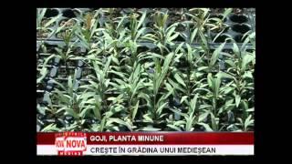 Goji, planta minune, cultivată de un medieşean - NovaTv Mediaş