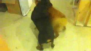 Golden Retriever Vs Rottweiler Exclusive