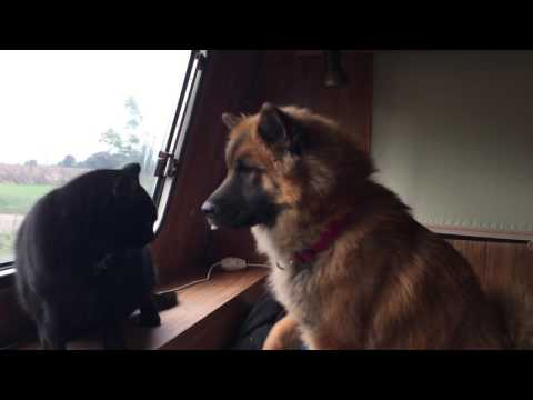 Eurasier dog trying to be friends with the cats