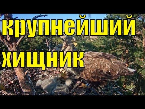 Орлан белохвостый крупнейший хищник планеты  / 3