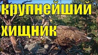 Орлан белохвостый крупнейший хищник планеты / Вебкамера на гнезде белохвостого орлана / 3(Длина тела орлана-белохвоста составляет от 70 до 90 сантиметров, размах крыльев — от 200 до 230 сантиметров,..., 2016-04-30T17:51:56.000Z)