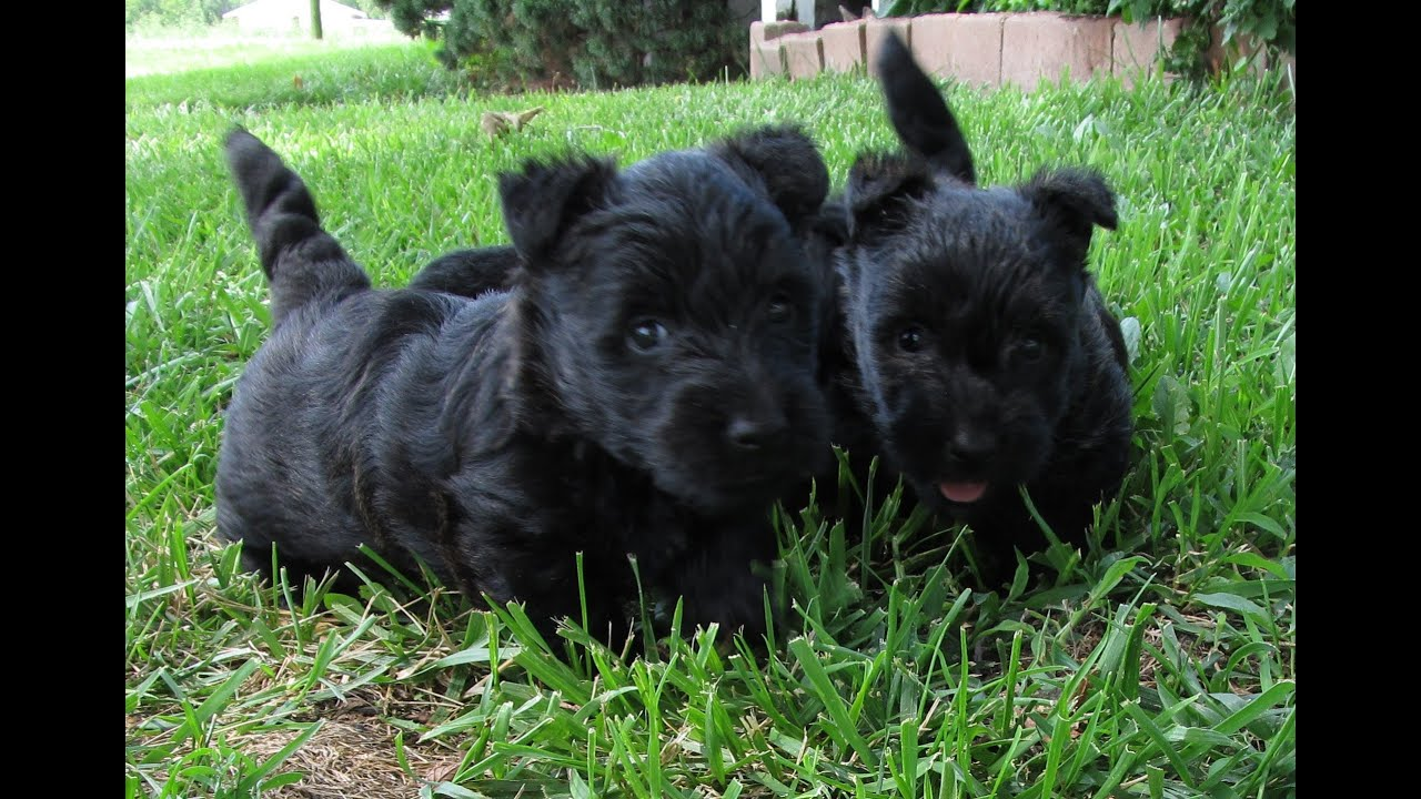 Scottish Terrier, Puppies, Dogs, For Sale, In Gulfport ...