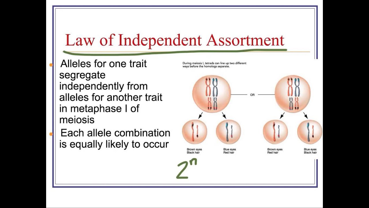 Law of Independent Assortment & Dihybrid Crosses - YouTube