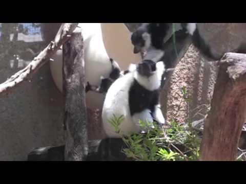 Twin Lemurs Born at Perth Zoo