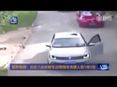WARNING GRAPHIC CONTENT---( FULL VIDEO ) Tiger Attack in Beijing's wildlife park, China