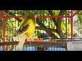 Nyaut Gacor Kicauan Burung Kenari Ini  Mp3 - Mp4 Download