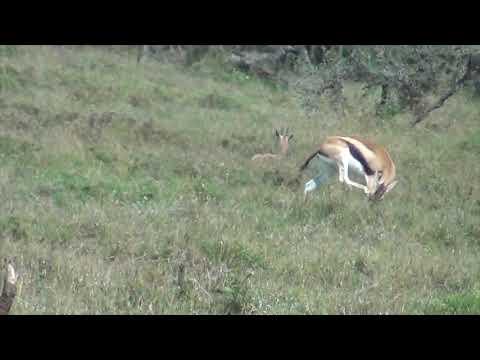 Gazelle birth and jackal predation