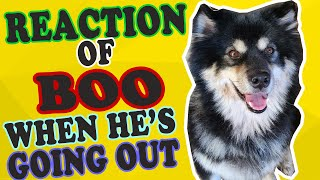 Funny Dog: Reaction of the Finnish Lapphund Dog When He's Going Out
