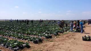 Gleaning Cabbage On Orange County Produce Farm Lan