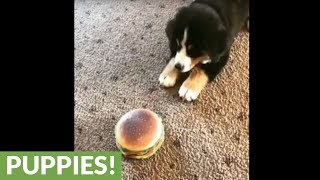 Confused puppy totally baffled by toy hamburger