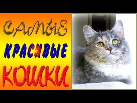 Абиссинская кошка: фото, описание породы, характер, видео