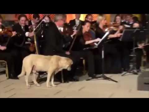 Fazıl Say Konserine Damga Vuran Köpeğin Görüntüleri Çıktı