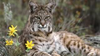 Леснов  Рассказы о животных  Рысь  читает Павел Беседин