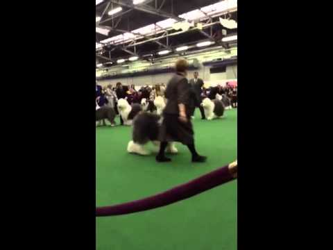 137th Westminster Kennel Club Dog Show Old English Sheepdogs