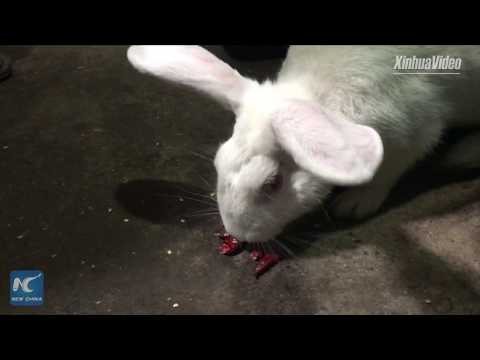 Meet the rabbit that loves chili, in Chongqing, China