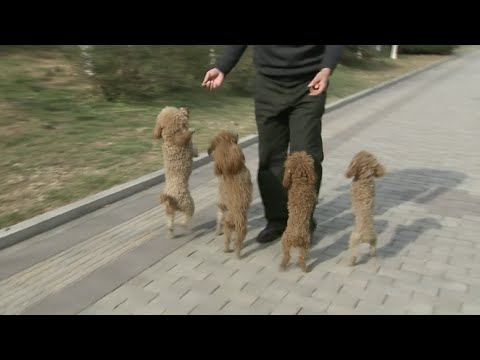 So cute! Well-trained Dogs Get Popular Online