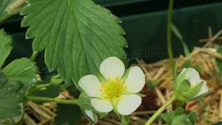 Hand-pollination of strawberry plants
