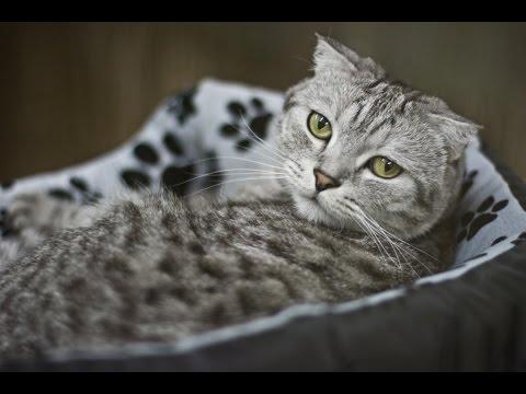 Британская кошка фото цена описание породы характер