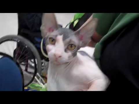 Sphynx cat at show