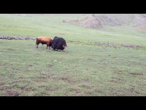 Bull vs yak part 1