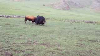 Mongolian bull vs yak in Arkhangai aimag.