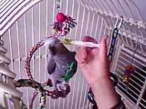Bingo - African Grey Parrot