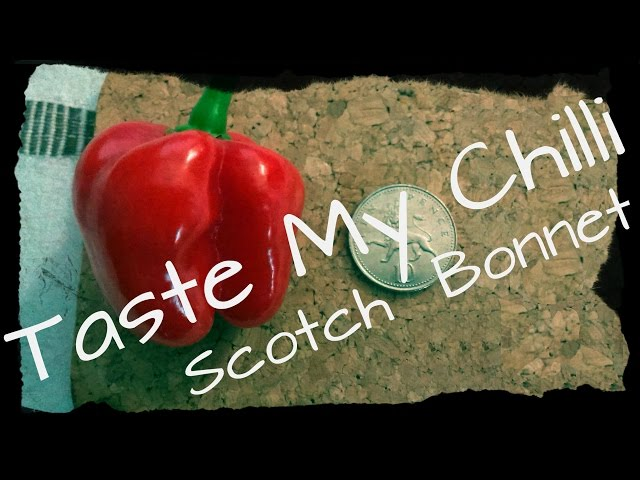 Taste My Chilli #43 - Scotch Bonnet