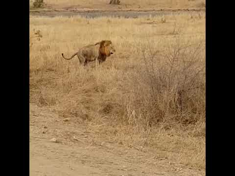 Pooping lion in Kruger south africa