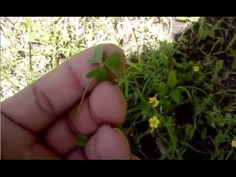 Foraging with The Urban-Abo - Spring Edibles 6 - Featuring Cattails, Yellow Sorrel, & Jewel Weed
