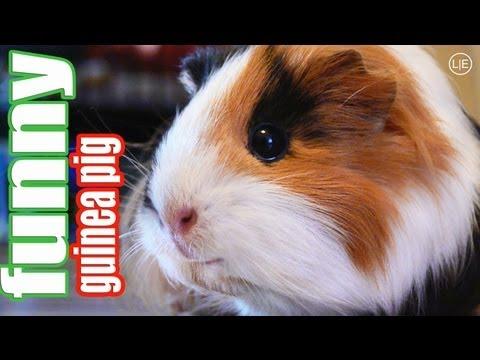 10 Guinea Pigs - viele niedliche Meerscheinchen - funny