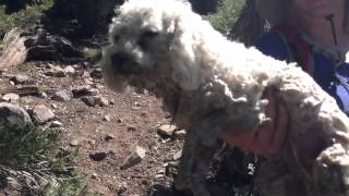 Maltipoo Air Dog Paddling