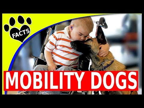 Service Dogs: Top Mobility Assistance Dog Breeds Service Dogs for People Wheelchairs - Animal Facts