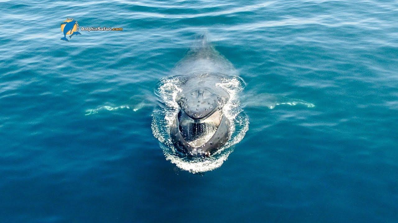 Humpback Whale Chompers Surface Feeding Youtube